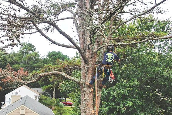 atl-pruning